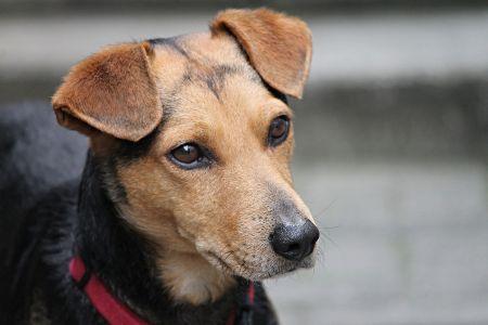 Collar anti pulgas en perros